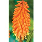 Alcazar Red Hot Poker