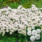 Noblessa Double Yarrow