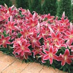 Starlight Magic Oriental Carpet Border Lily<sup>&trade;</sup>