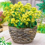 Honey Gold Sedum