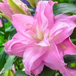 Editha Rose Lily