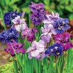 Double-Flowered Siberian Iris Mixture