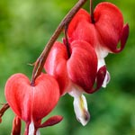 Red Valentine  Bleeding Heart