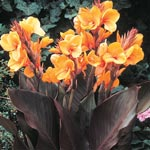 Louis Cotton Dwarf Canna