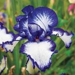 Earl of Essex Reblooming Tall Bearded Iris