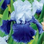 October Sky Reblooming Tall Bearded Iris