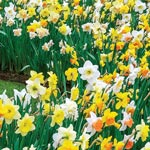 Daffodils For Shade Mixture