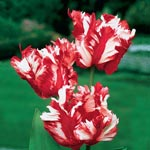 White Fire Parrot Tulip