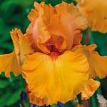 Penny Lane Reblooming Bearded Iris