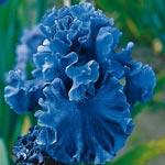 Sea Power Bearded Iris