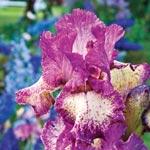 Rock Star Reblooming Tall Bearded Iris