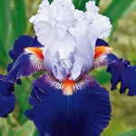 Wired in Blue Bearded Iris