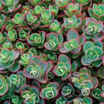 Lime Zinger Creeping Sedum