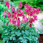 King of Hearts  Reblooming Dicentra