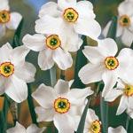 Original Poet<sup>&#39;</sup>s Daffodil