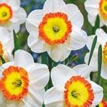 Roulette Daffodil