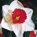 Decoy Daffodil