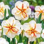 Trepolo Daffodil