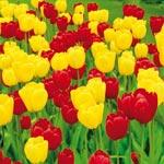 Long-Stemmed Perennial Tulip Duet Super Sak<sup>&reg;</sup>