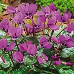 Fragrant spring blooming<sup>&trade;</sup> Hardy Cyclamen