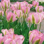 Greenland Tulip