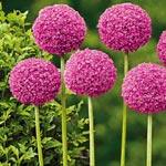 Twinkling Stars Allium