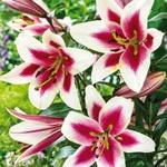 Altari Lily Tree<sup>&reg;</sup>