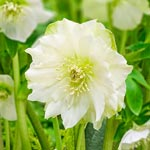 Great White Double Hellebore