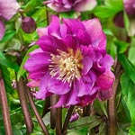 Winter Plum Double Hellebore