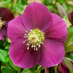 Winter Plum Hellebore