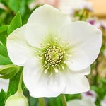 Great White Hellebore