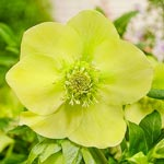 Searchlight Wow!<sup>&reg;</sup> Hellebore
