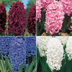 Colourful Giant Hyacinth Collection