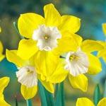 Dickcissel Daffodil
