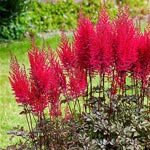 Mighty Chocolate Cherry Astilbe