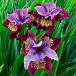 Miss Apple Siberian Iris