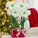 Christmas Gift Amaryllis Duo