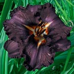 Longfields Black Magic Daylily