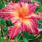 Pink Stripes Reblooming Daylily