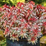 Frosted Flame Euphorbia