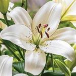 Eyeliner Lily