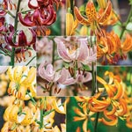 Turk's Cap Lily Collection