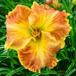 Beyond Riches Reblooming Daylily