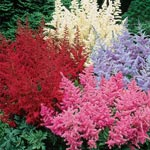 Astilbe Mixture Super Sak<sup>&reg;</sup>