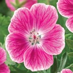 Elke Everblooming Geranium