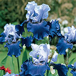 Best Bet Reblooming Bearded Iris