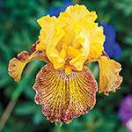 Jitterbug Tall Bearded Iris