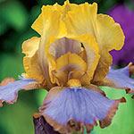 Brown Lasso Tall Bearded Iris
