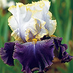 Slovak Prince Tall Bearded Iris