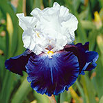 Captain's Choice Reblooming Bearded Iris